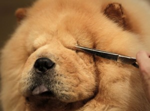Chow Chow Westminster 2016 /AP