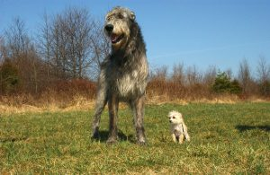 wolfhound-and-company